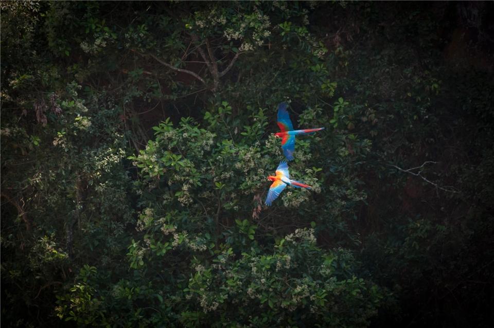 Brasilien Zwei Aras überfliegen den Dschungel