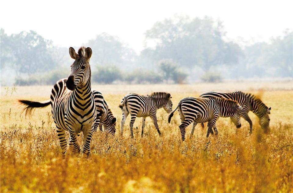 Afrika - Zebras