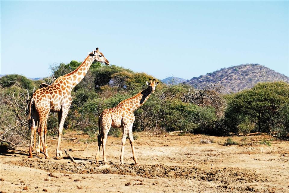 Südarfika Giraffen im Madikwe-Wildreservat