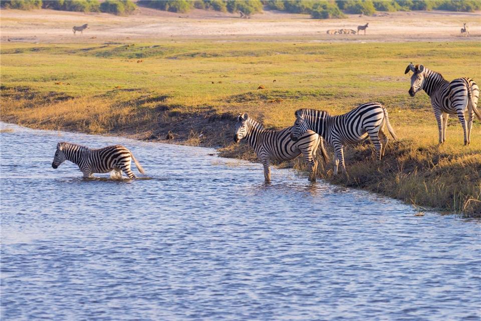 Wildes Afrika Zebras durchqueren den Chobe