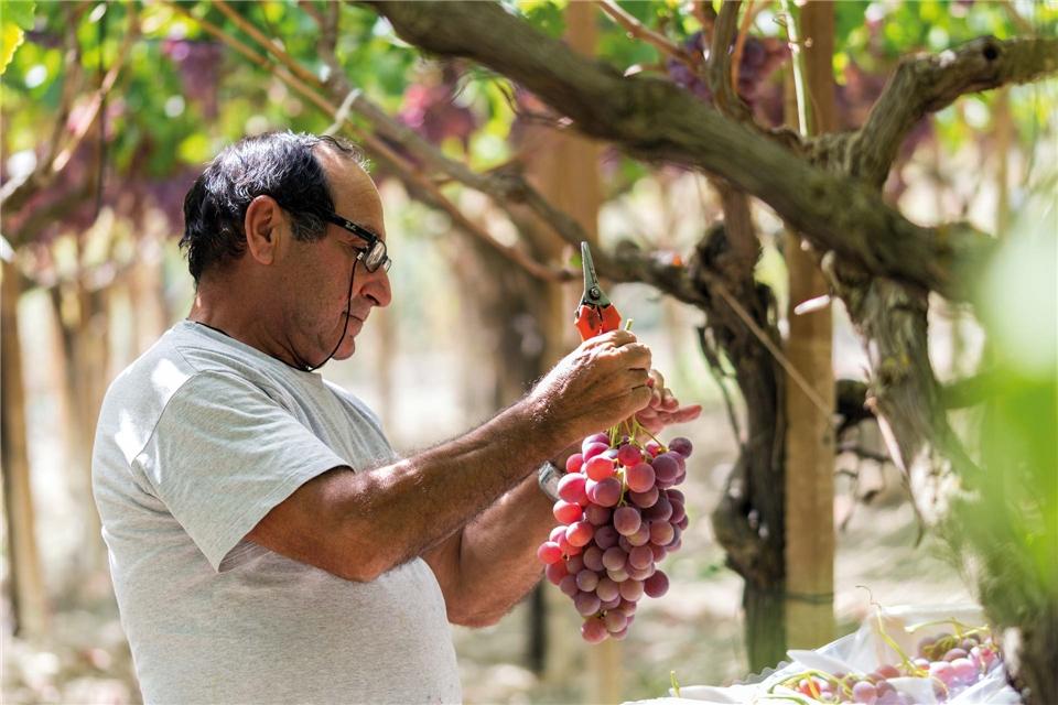 Sizilien für Genießer Traubenernte auf dem Weingut