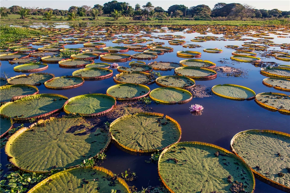 Brasilien Riesenseerosen im Pantanal