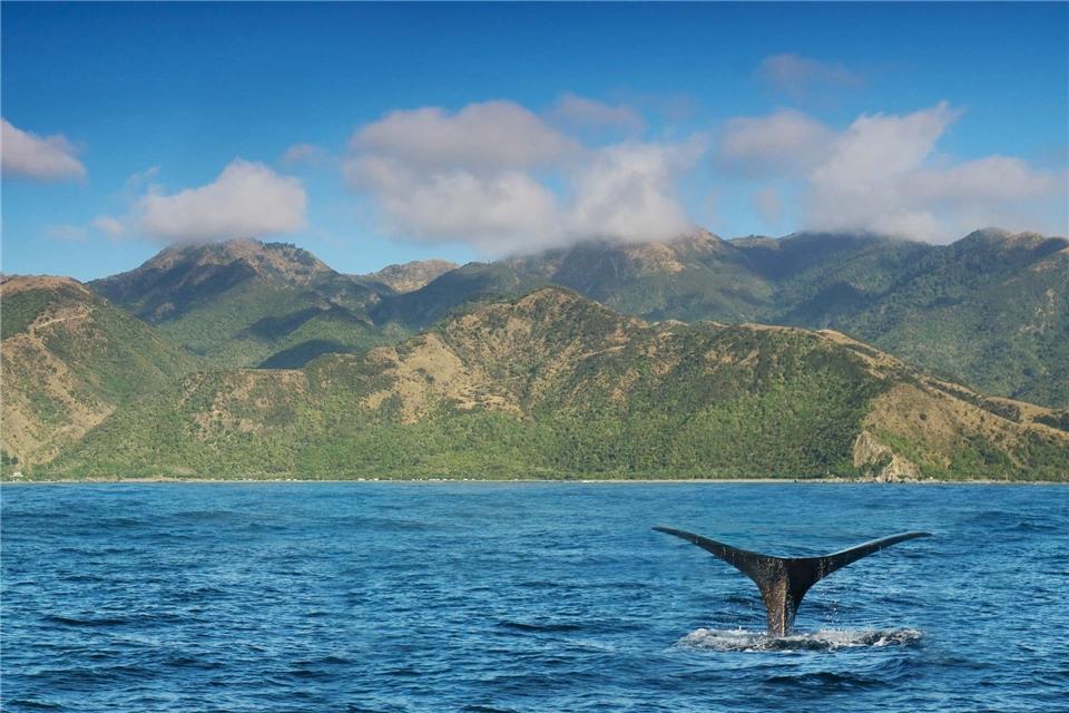 Neuseeland Walflosse vor der Küste von Kaikoura