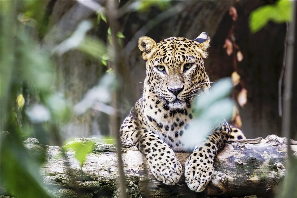 Sri Lanka Leopard im Baum