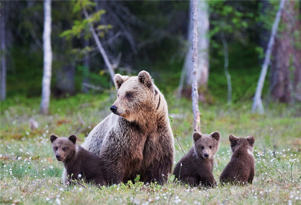 Kanada - Braunbaerenfamilie im Nationalpark