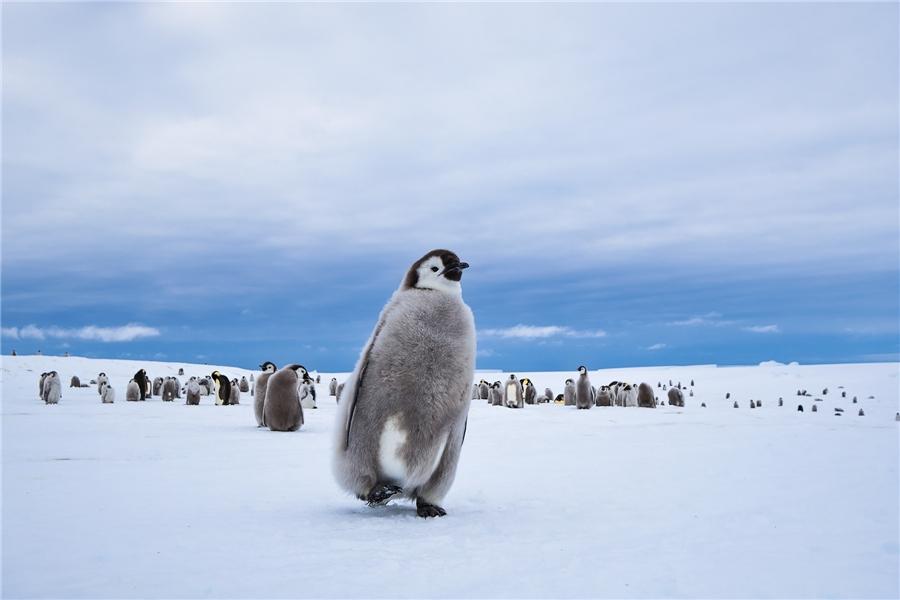 Antarktis - Junger Kaiserpinguin