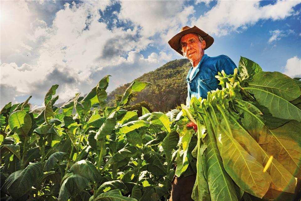 Cuba Connaisseur Mann auf einer Tabacco Farm