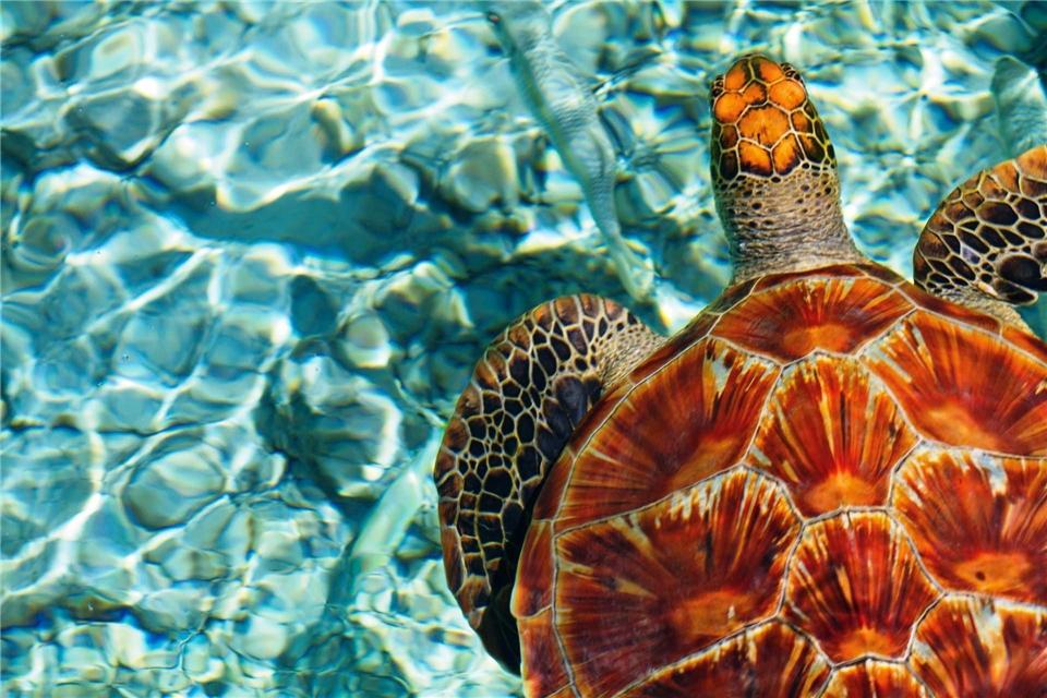 Franzoesisch-Polynesien Meeresschildkroete