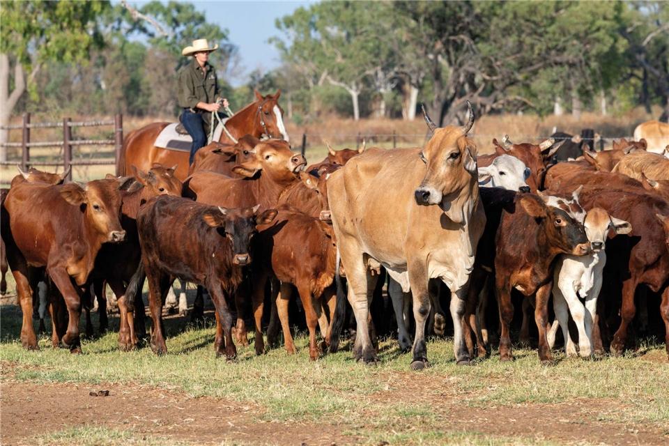Australien Herde von Kühen