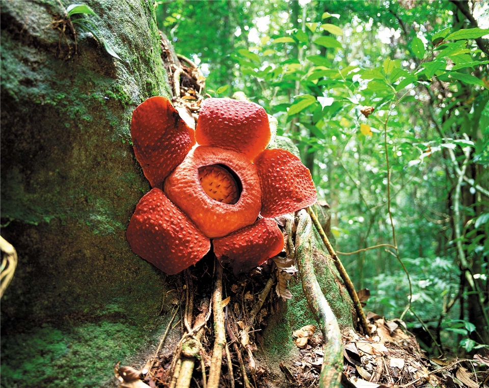 Malaysia Borneo Rafflesia
