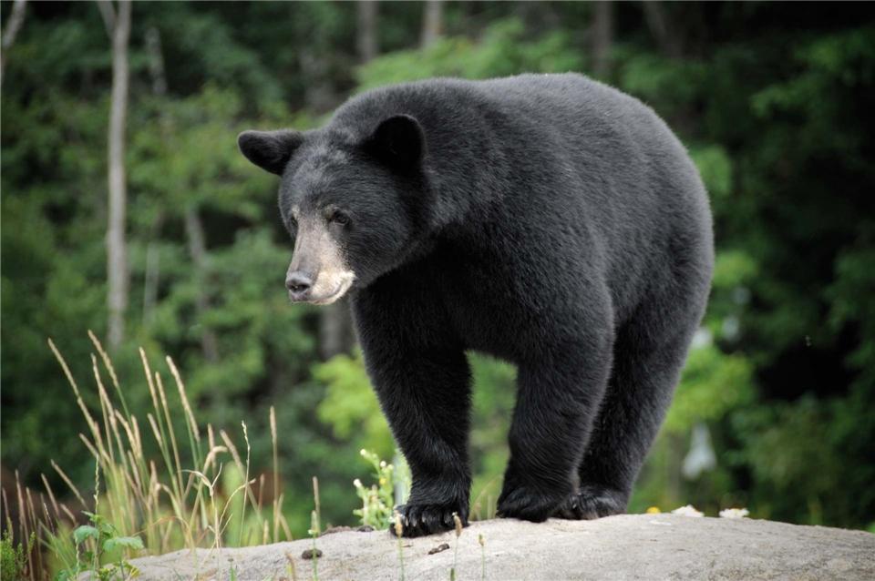 Kanada Schwarzbär