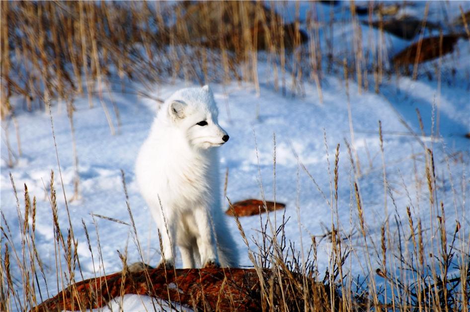 Kanada - Polarfuchs