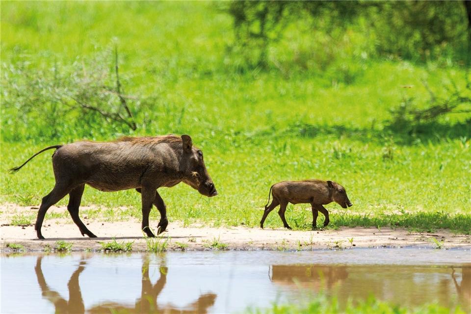 Tansania a la Carte Warzenschwein mit Jungtier am Wasserloch