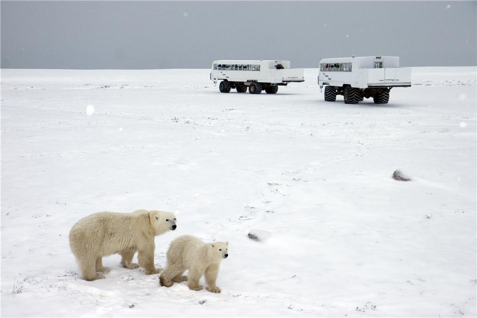 Kanada - Tundra mit Eisbären und Buggy